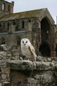 Barn Owl at Melrose Abbey
