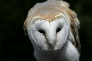 barn_owl2_ps