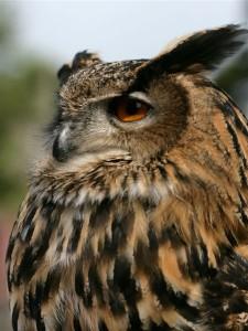 eagle_owl2