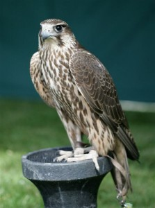 Female Tri-bred Falcon