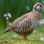 Red Leg Partridge Season